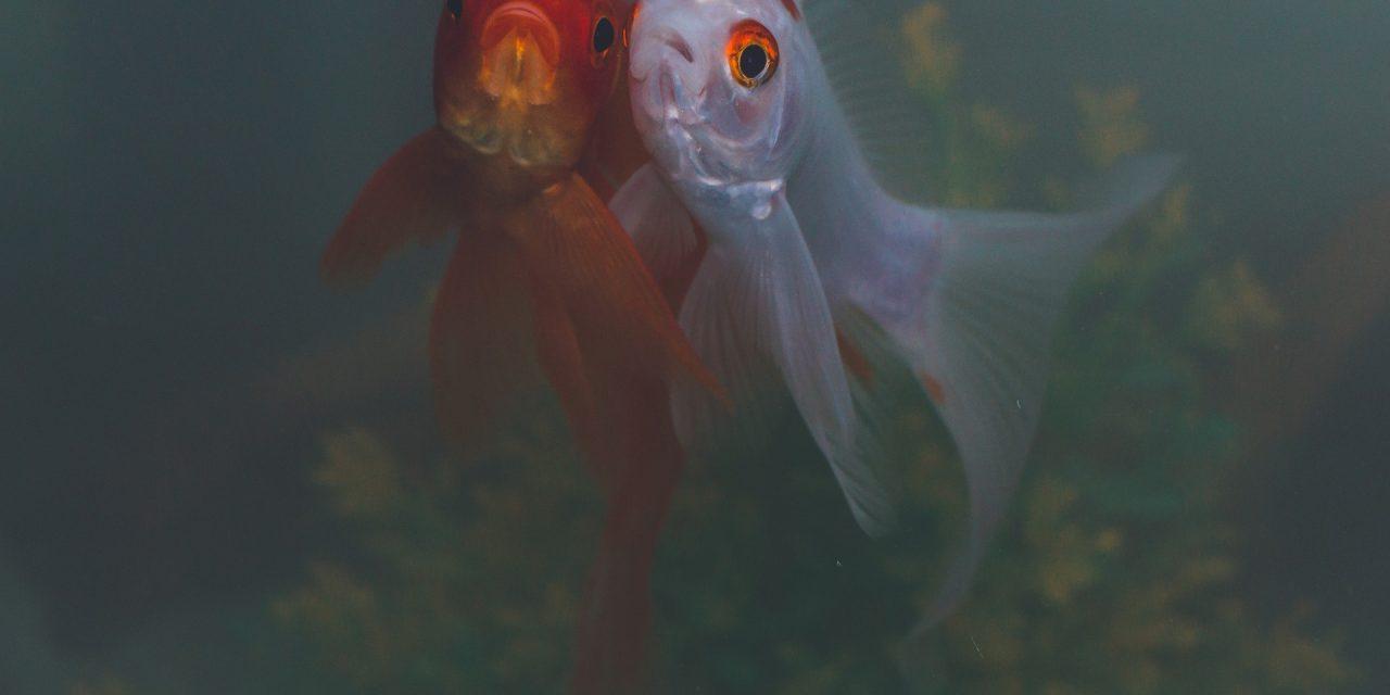 La storia inventata di due pesci parlanti