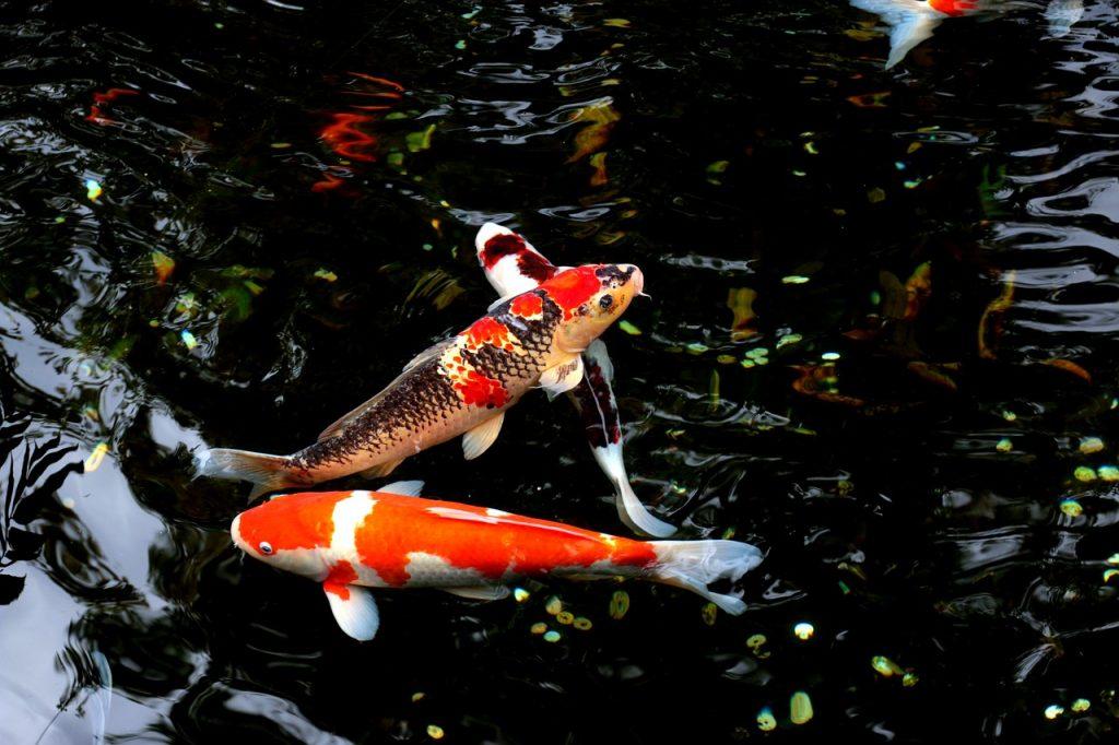 Carpe Koi: aspiranti fidanzate dei pesci rossi parlanti!